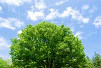 Trees and sky of fresh green zelkova Stock photo [1004054] Zelkova
