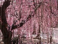 Hongmei of Yuki Shrine Stock photo [1005299] Tsu