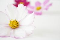 Cosmos Stock photo [1006340] Flower