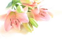 Pink lily Stock photo [1007246] Yuri