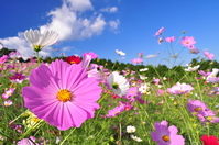 Cosmos of Nagasaki Prefecture Isahaya Shirokimine Plateau Stock photo [1011544] Cosmos