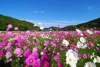 Cosmos Stock photo [1011835] Flower