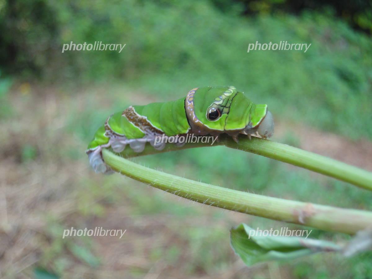 幼虫 クロアゲハ の 蝶(チョウ)の幼虫図鑑