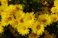 Late autumn of yellow chrysanthemum Stock photo [1113335] In