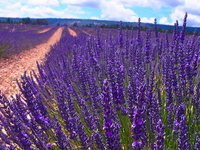 Fields of lavender Stock photo [1113519] Lavender