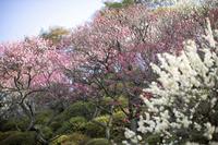Plum blossom Stock photo [1113642] Flower