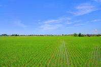 Katori June of fields Stock photo [1116372] Rice