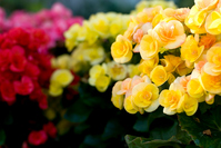 Begonia flowers Stock photo [1120752] Begonia