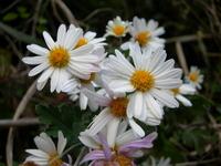 Noji chrysanthemum Stock photo [1122915] Kunio