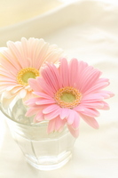 Pastel colors of Gerbera Stock photo [1218784] Pastel