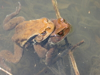 Frog mating Stock photo [1218822] Frog