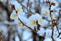 Snow plum Stock photo [1219043] Plum