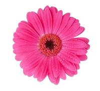Pink Gerbera one wheel of Stock photo [1219480] Gerbera