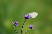 Cabbage butterfly and Verbena bonariensis Stock photo [1221994] Natural