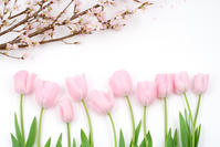 Tulip and cherry blossoms Stock photo [1223290] Tulip