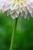 White dahlia Stock photo [1223733] Dahlia