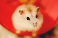 Djungarian hamster Putingu Stock photo [1309008] Hamster