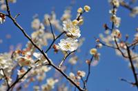 Mukojima hundred Garden of white Kaga plum Stock photo [1309717] Mukojima