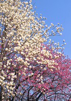 Manglietia yuyuanensis law Stock photo [1311078] Manglietia