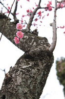 Plum blossom Stock photo [1311089] Plum