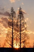 Metasequoia Stock photo [1314152] Metasequoia