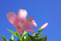 Hibiscus Stock photo [1314465] Hibiscus