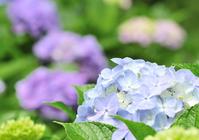 Hydrangea Stock photo [1314527] Hydrangea
