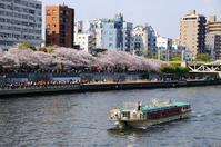 Sumida River cherry trees and houseboat Stock photo [1316640] Sumida