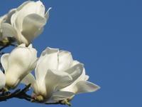 Magnolia Stock photo [1317486] Yulan