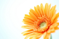 Gerbera Stock photo [1317975] Gerbera