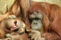 Orangutan Stock photo [1323783] Orangutan