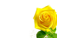 Yellow rose Stock photo [1324456] Father's