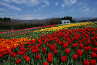 Pastoral village of tulip Stock photo [1399459] Bokka-no-Sato