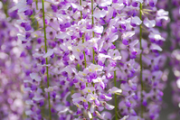 The wisteria flowers Stock photo [1402142] Spring