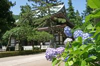 Kamakura Engakuji hydrangea Stock photo [1402796] Kamakura