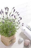 English lavender Stock photo [1403594] English