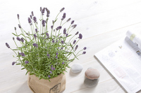 English lavender Stock photo [1403602] Lavender