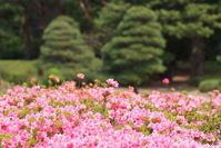 Azalea flowers spread bloom in garden people Stock photo [1403993] Flower
