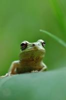 Japanese tree frog Stock photo [1404096] Frog