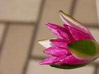 Lotus Flower Stock photo [1405891] Lotus