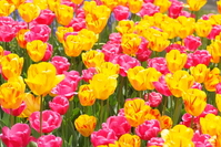 Tulip flower bed Stock photo [1406266] Flower
