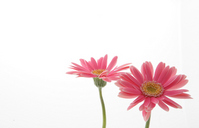 Pink gerberas Stock photo [1406496] Gerbera