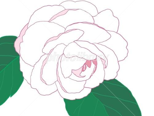 白い椿の花のイラスト イラスト素材 1494520 フォトライブラリー