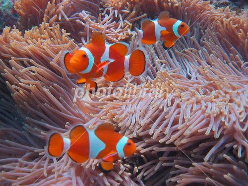 Sea clownfish Okinawa Prefecture Ishigaki Edasaki Photo