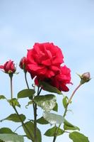 Roses Stock photo [1494237] Rose