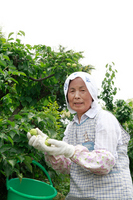 Senior women who harvest the plum Stock photo [1494413] Zinnia