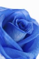Blue rose Stock photo [1495289] Rose