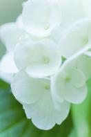 White hydrangea Stock photo [1496898] Hydrangea