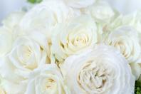 White Rose Stock photo [1498563] White