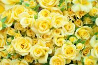 Yellow rose Stock photo [1498672] Rose